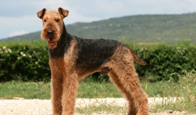 airedale-terrier-bakimi