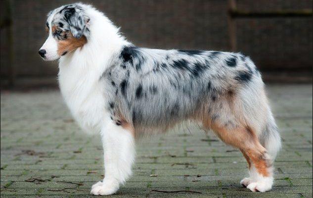 Australian-shepherd