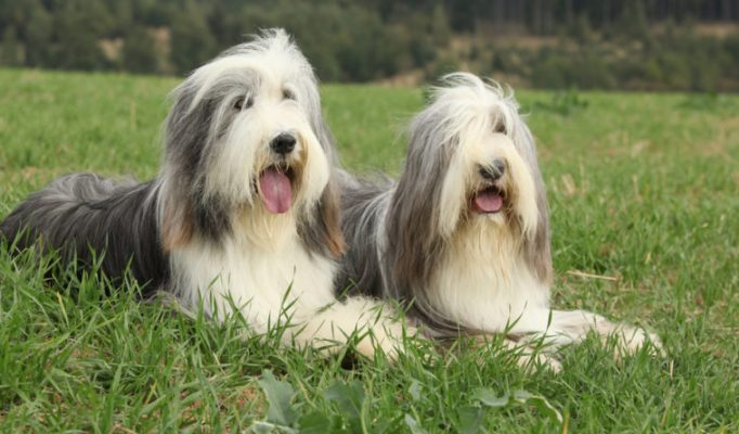 Bearded-Collie-bakimi