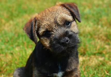 Border -Terrier-ozellik