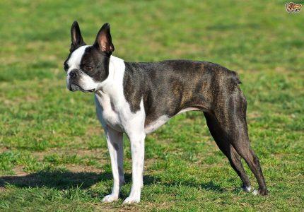 Boston-Terrier-bakimi
