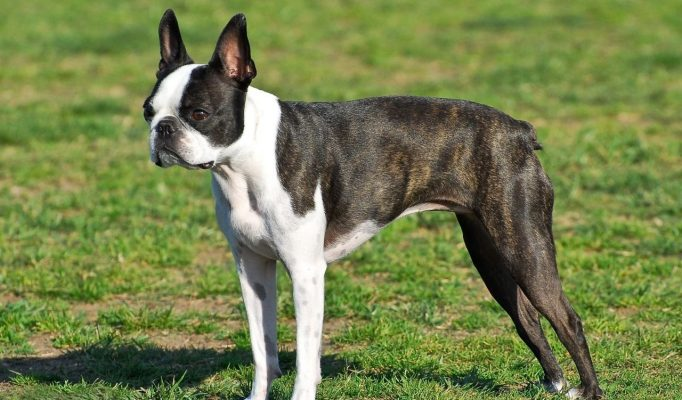 Boston-Terrier-bakimi
