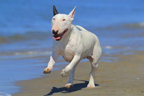 Bull-Terrier-ozellikleri