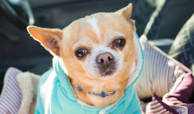 Chihuahua-bakimi