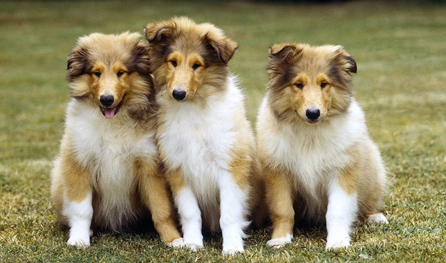 Collie-Dogs-bakimi