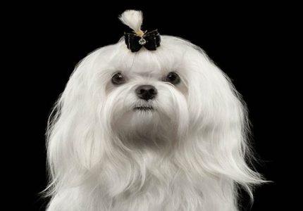 Maltese-Terrier-kopegi