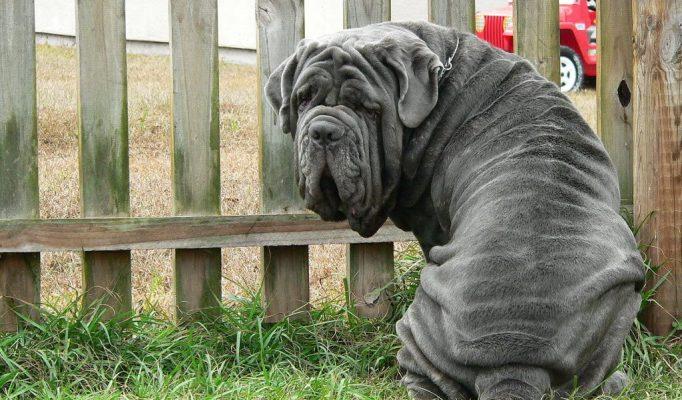 Napoliten-Mastiff-ozelligi