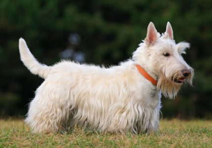 Scottish-Terrier-kopegi