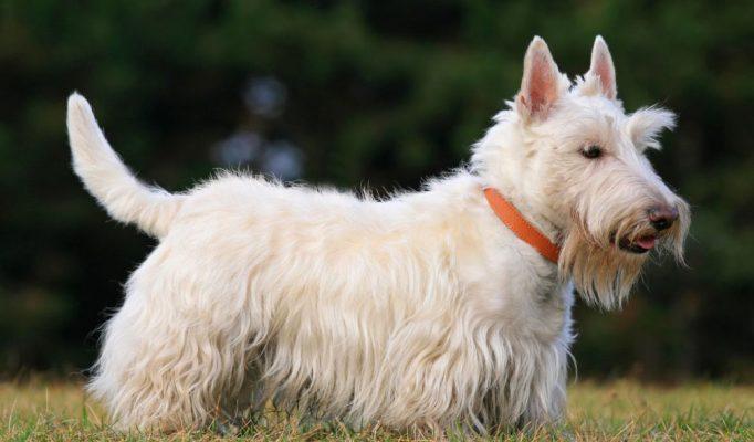 Scottish-Terrier-kopegi
