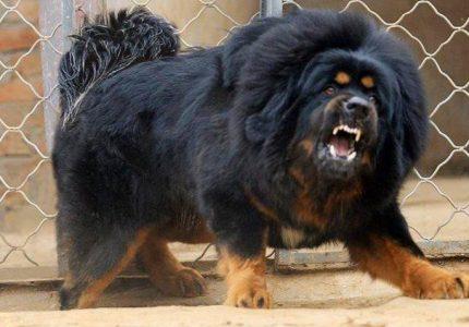 Tibet-Mastifi-kopegi