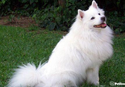 amerikan-eskimo-dog-bakimi