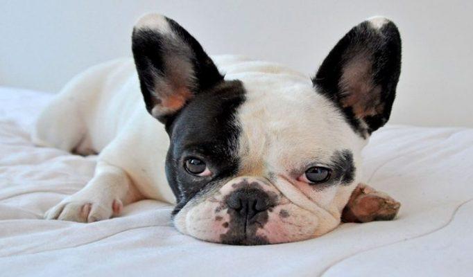 fransiz-bulldog-bakimi