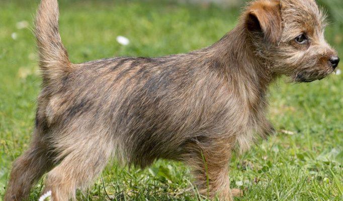 norfolk-terrier-bakimi
