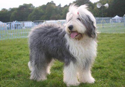 old-english-sheepdog-bakimi