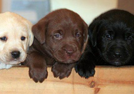 Labrador-Retrievers-bakimi