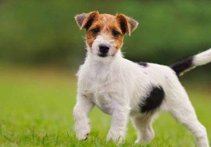 jack-russell-terrier-ozellikleri