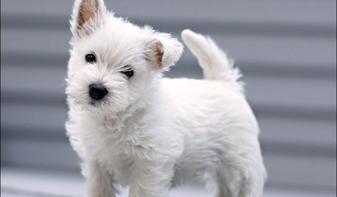 west-highland-terrier-bakimi