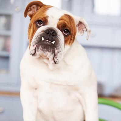 Ingiliz-Bulldog-Bakimi