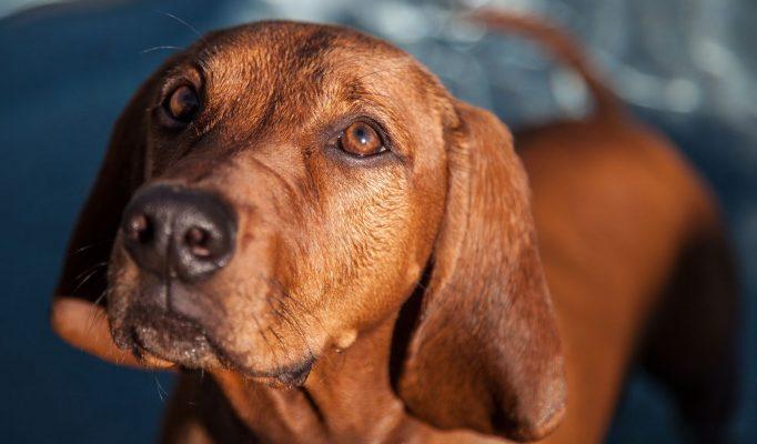 Redbone-Coonhound-Bakimi