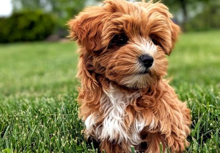 Yorkipoo puppy sitting on grass staring off into the distance with deep thought